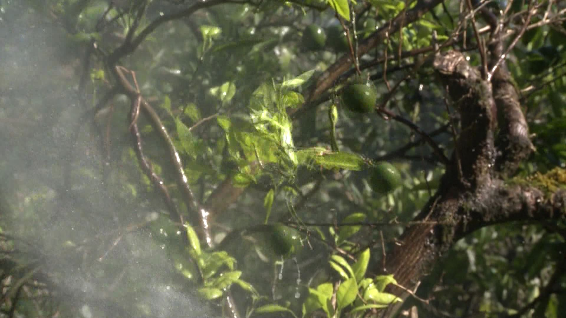 There Is A Danger Of Spreading Asian Bugs In Citrus Gardens   Revaz Asatiani