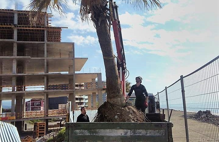 Perennial palm was damaged during the construction in the new Boulevard