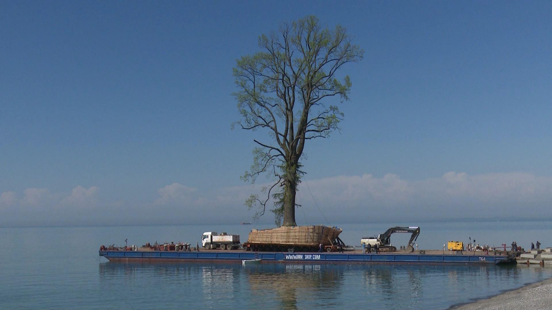 ტიტის ხე დენდროლოგიურ პარკში გადასატანად მზადაა