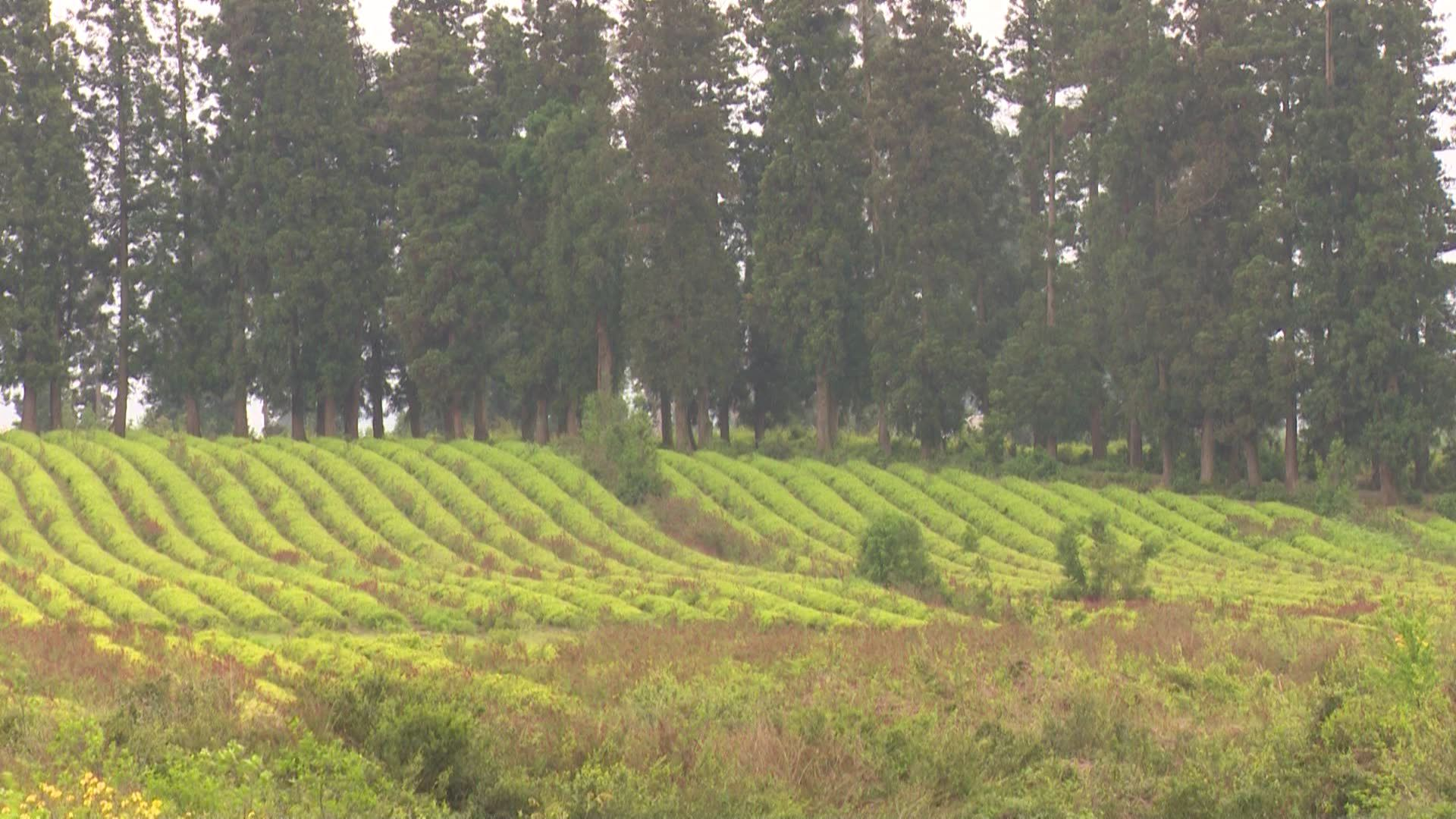 The government of Ajara is going to build tea plantation