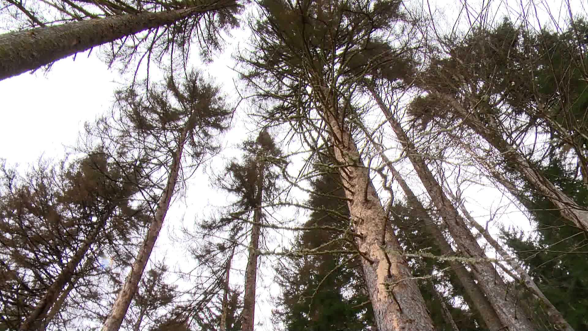 მავნებლით გამოწვეული ზიანი - ხულოში ხეები ხმება