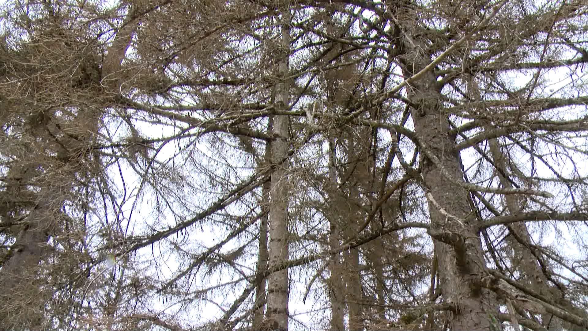ლაფანჭამია - შუახევში ხეების ხმობის მიზეზი