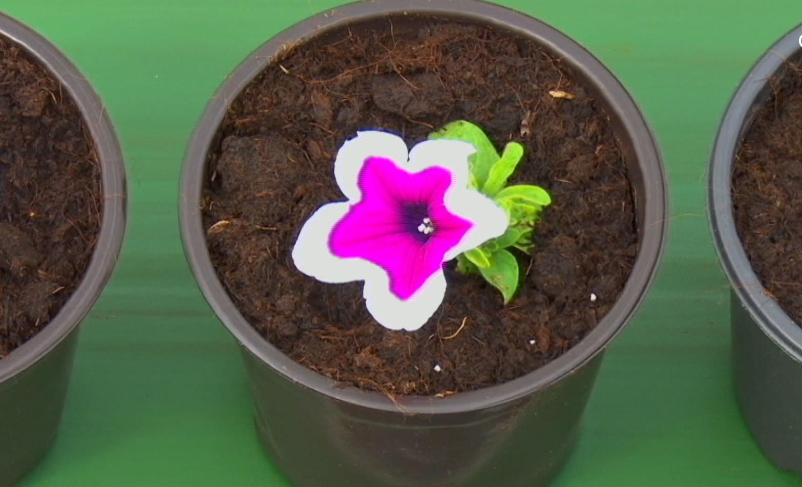 ყვავილების სათბური