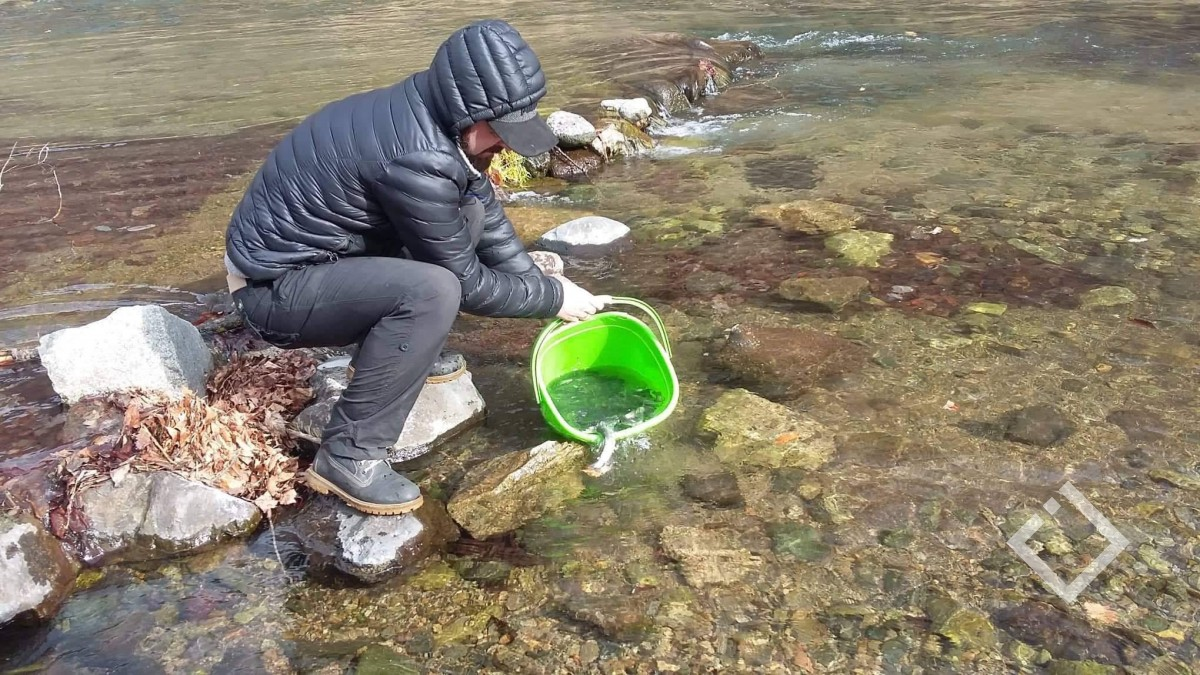 700-მდე ნაკადულის კალმახი, რომელიც წითელ ნუსხაშია მდინარე ხრამში გაუშვეს
